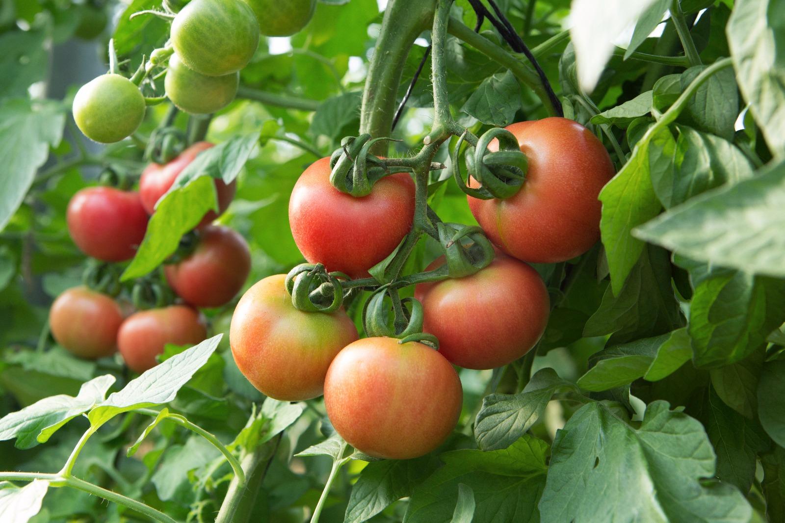 tomate-penjar-colgar-cosido-de-unica